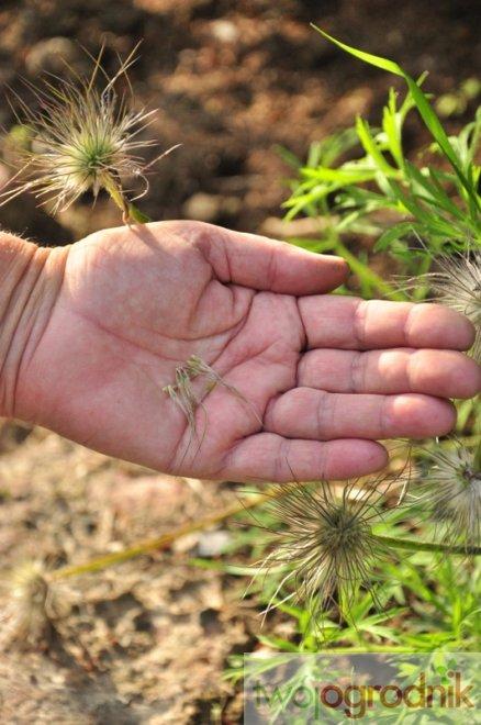 zbieranie nasion