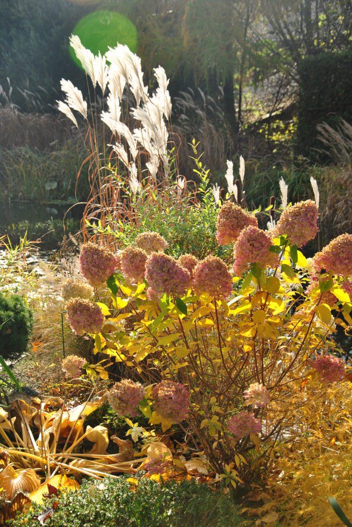 Hortensja bukietowa 'Limelight' jesienią