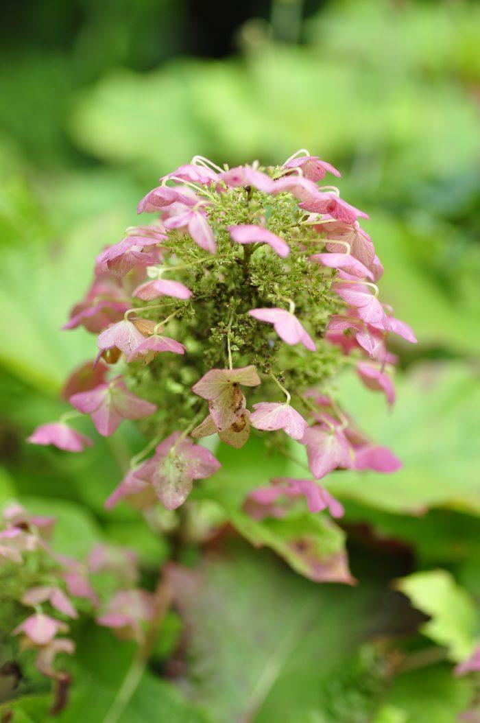 kwiaty hortensji dębolistnej