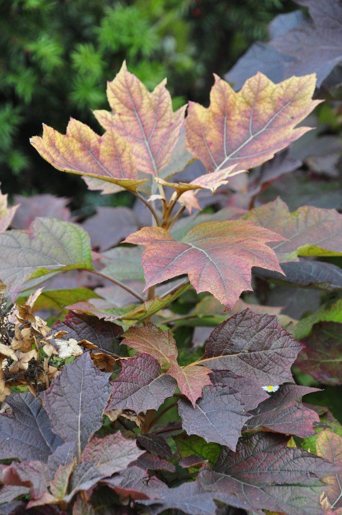 liście hortensji dębolistnej